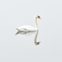 swan-293157_640
